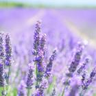 20 Uses for Lavender Oil