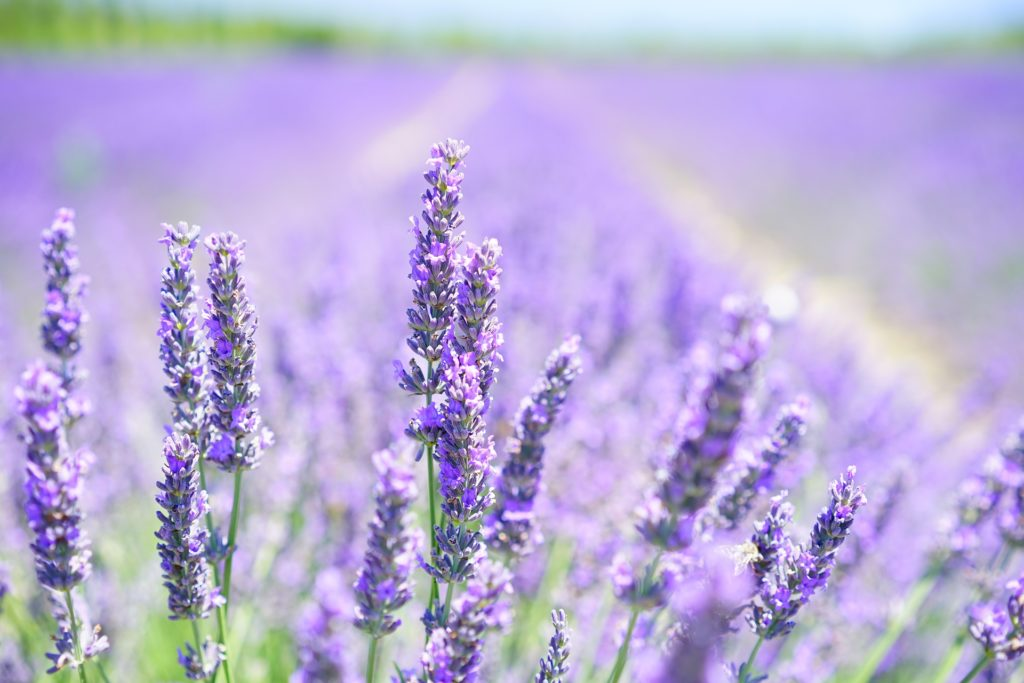 Here are 20 Uses for Lavender Oil. See why it's my #1 Pick! www.thehealthnutmama,com
